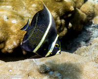 French Angelfish- Intermediate